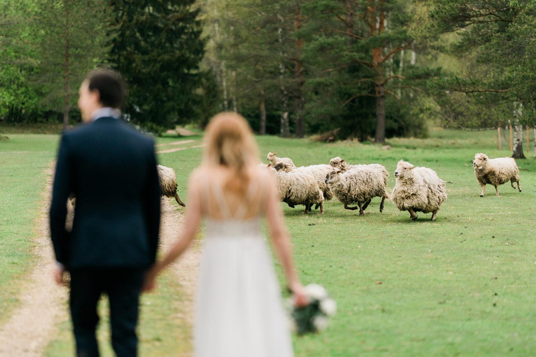 eesti-parim-pulmafotograaf-lambad-mait-juriado-mj-studios